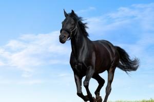 black horse amazing