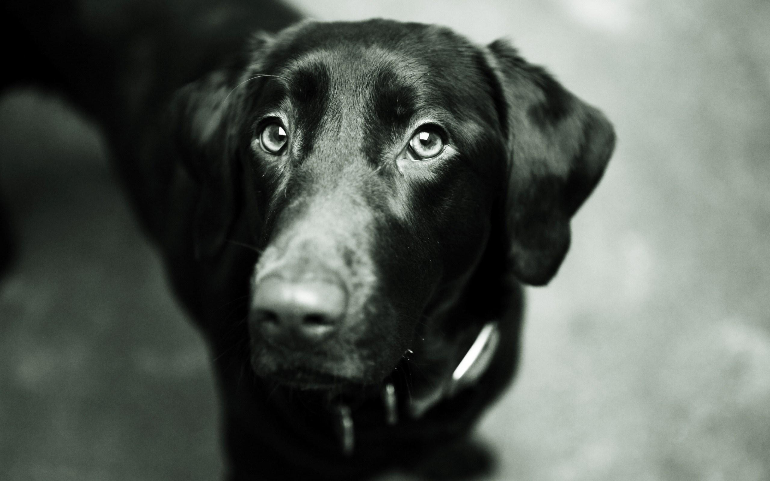 black labrador breed