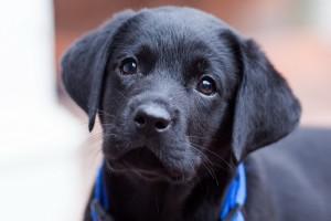 black puppy adorable