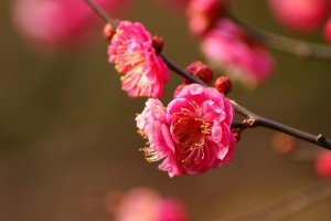 blossoms pink cherry