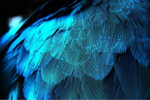 blue feather wallpaper