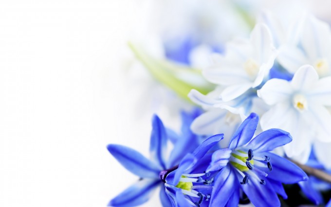 blue flowers background download