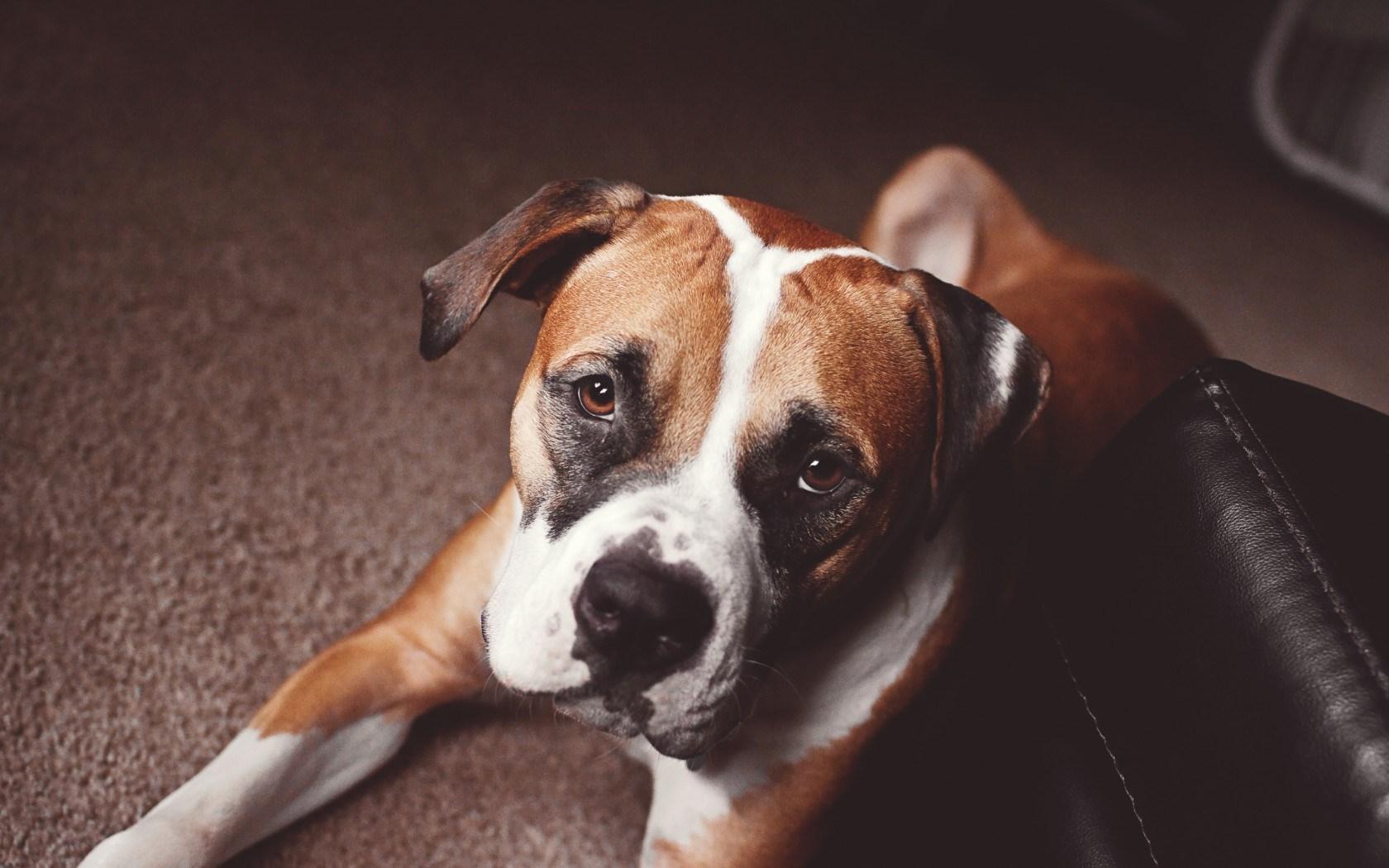 boxer dog cute