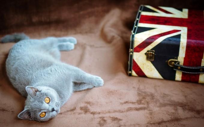 british cat funny