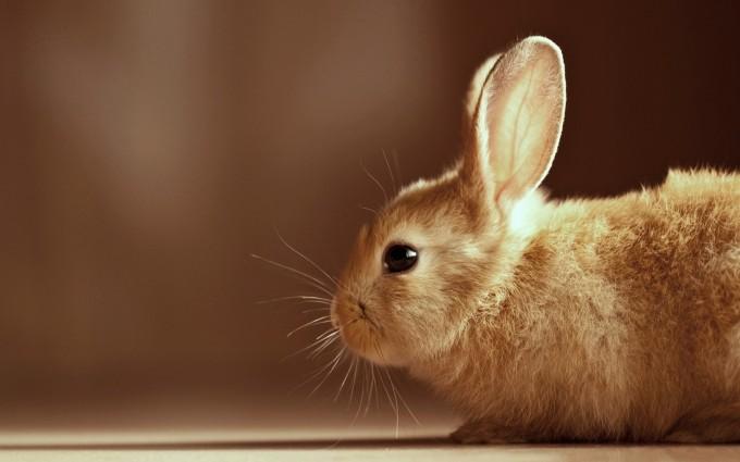 brown bunny rabbit cute