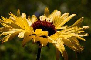 brown eyed susan flower