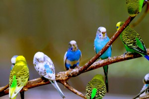 budgies family