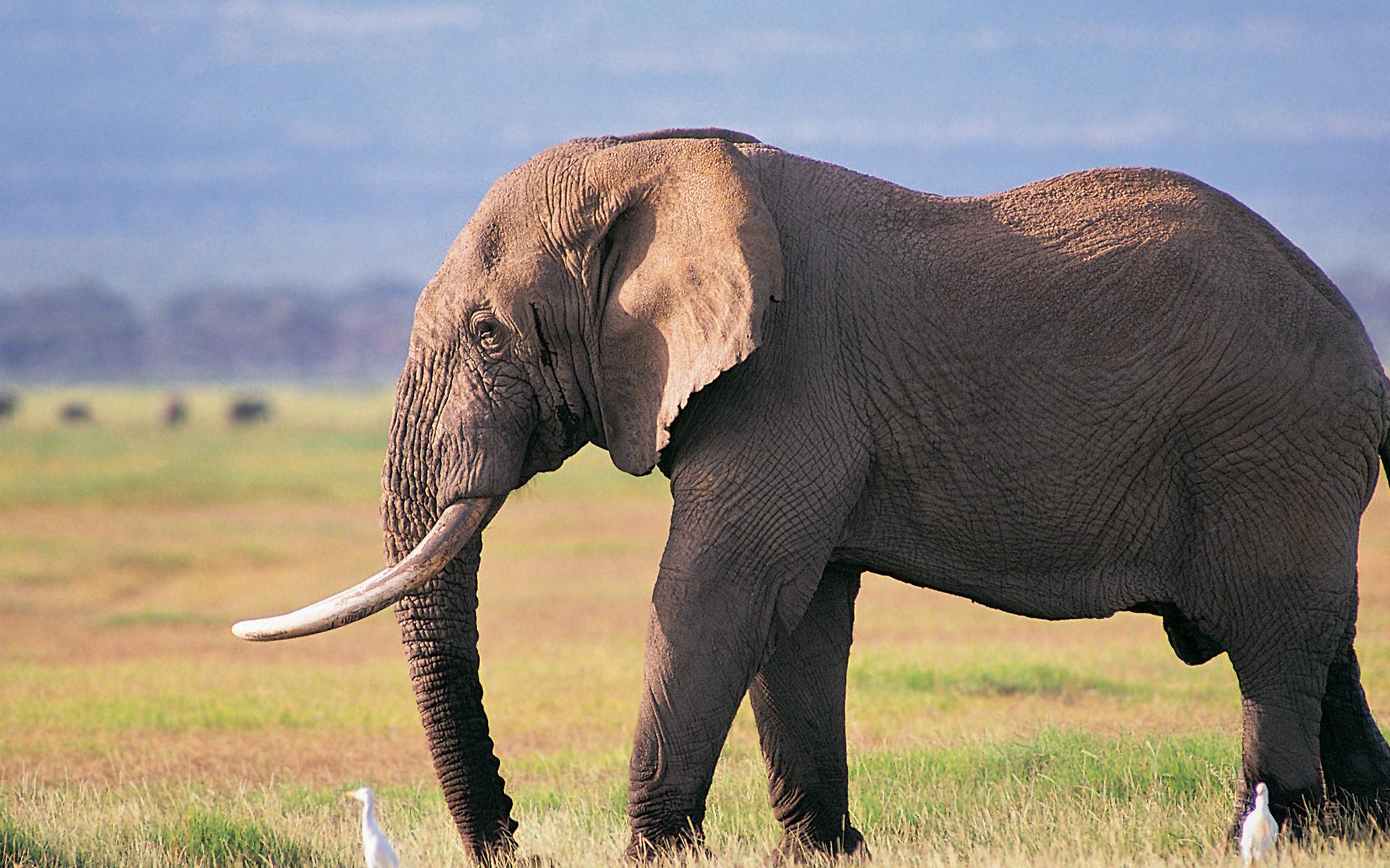 bull elephant wallpaper
