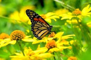 butterfly UHD