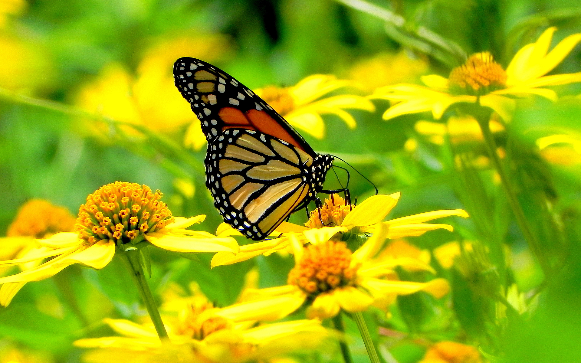 butterfly hd live wallpaper download