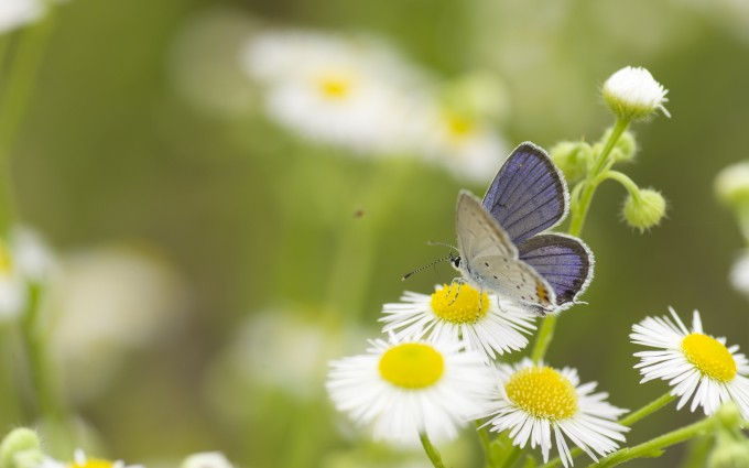 butterfly daisies flowers