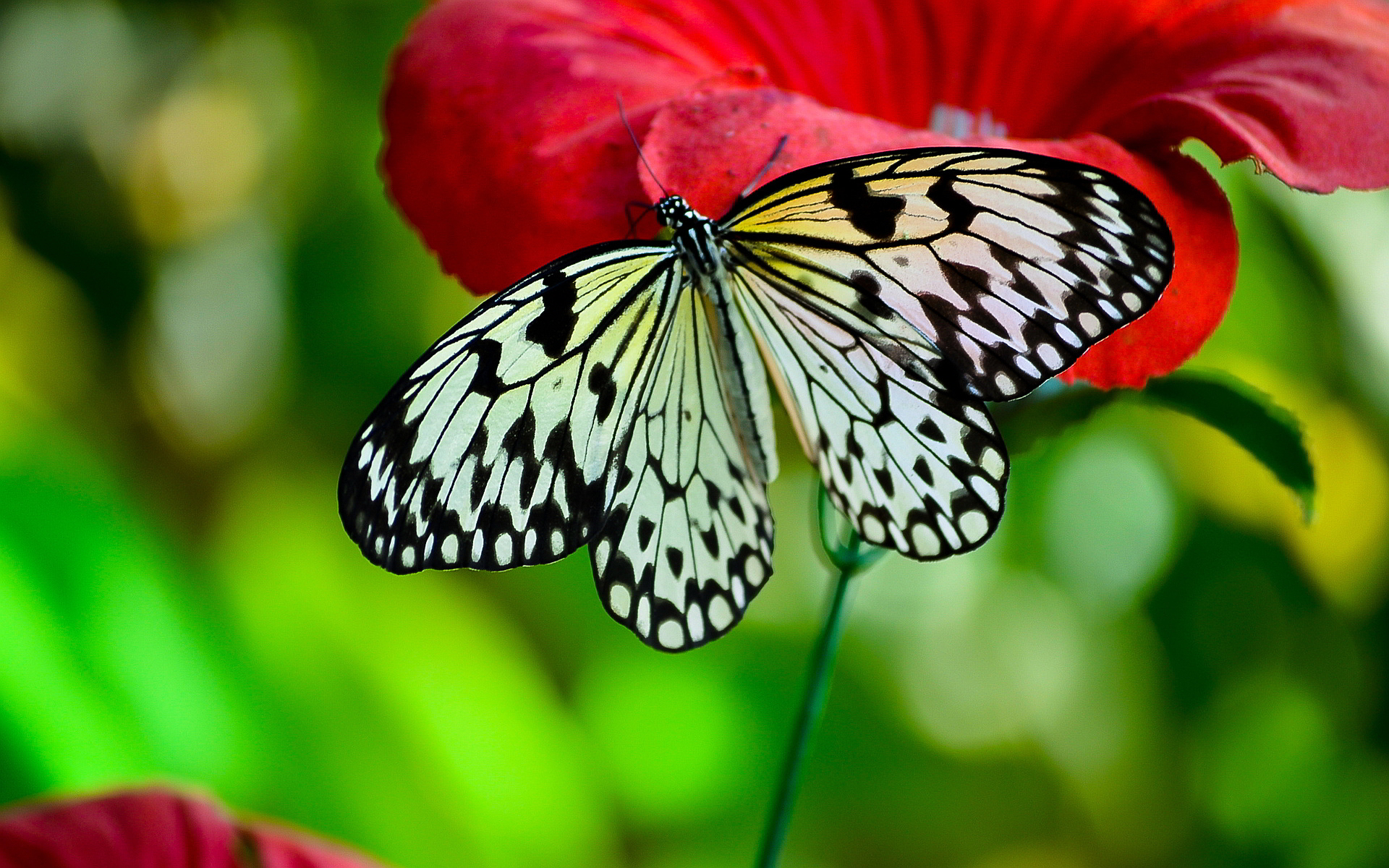 butterfly desktop wallpaper background
