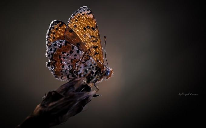 butterfly dew drops