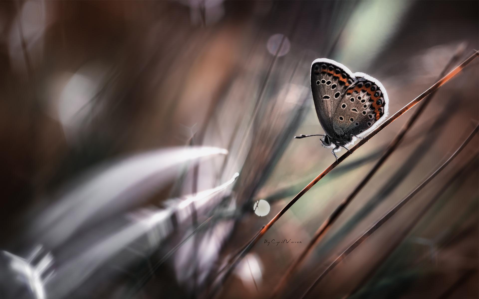 butterfly grass