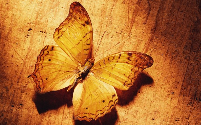 butterfly insect wallpaper