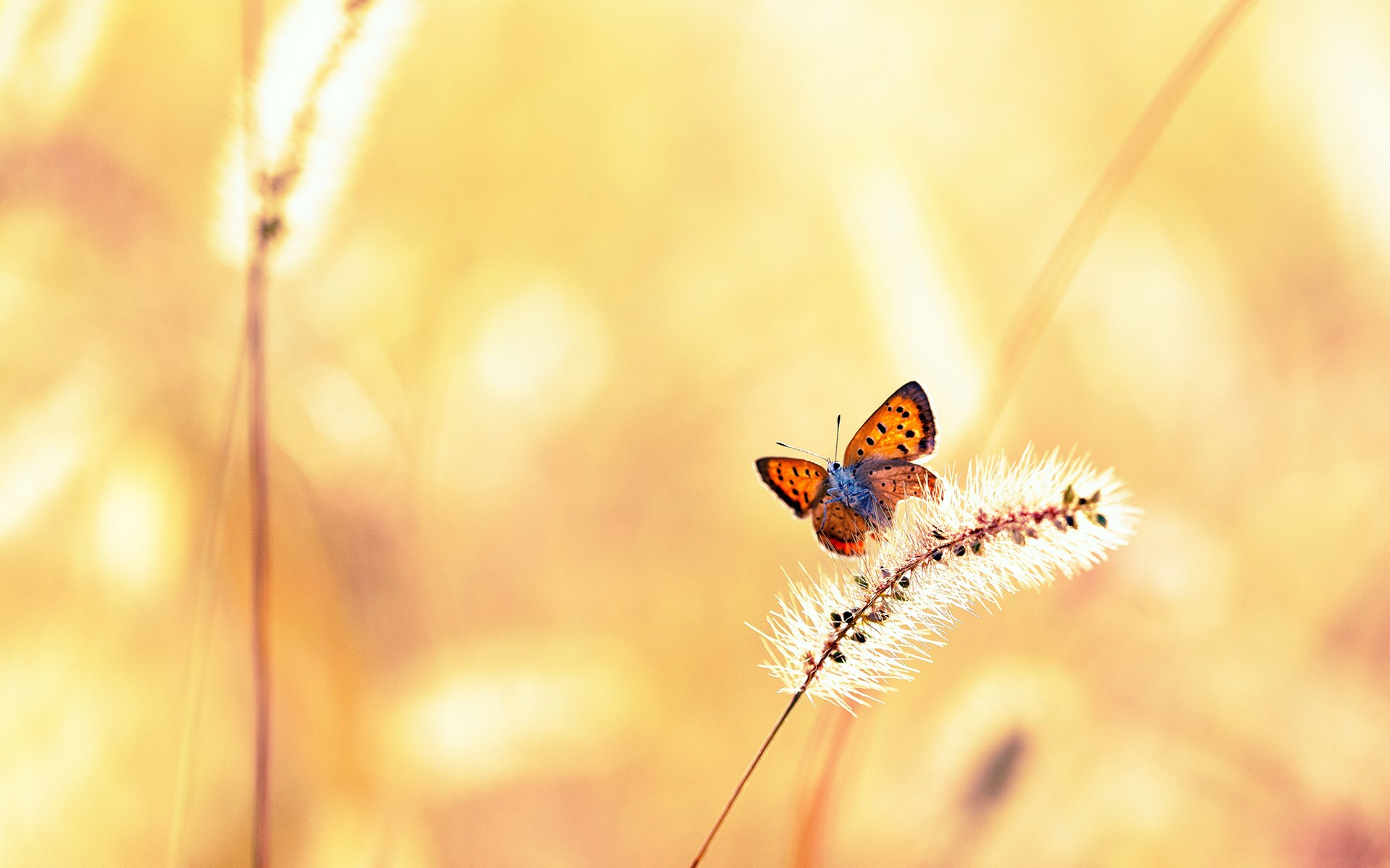 butterfly pc download