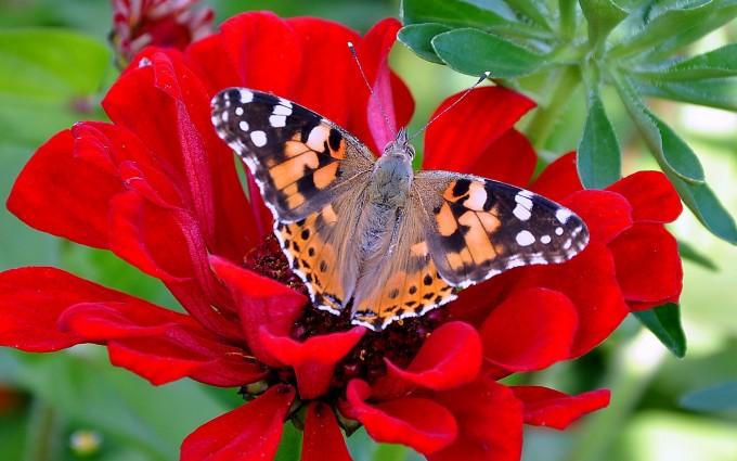 butterfly red flower