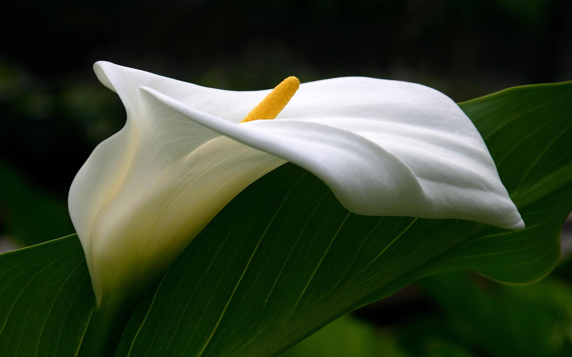 calla lilies wallpaper