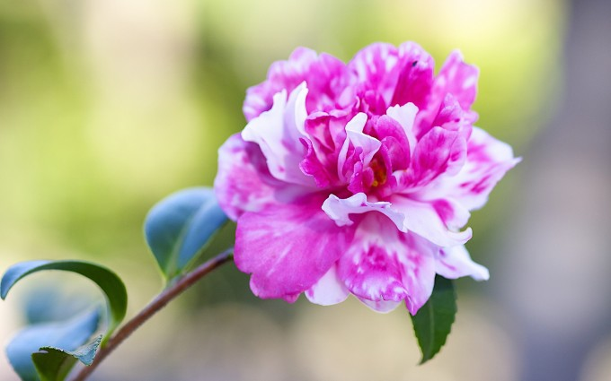 camellia flowers forest