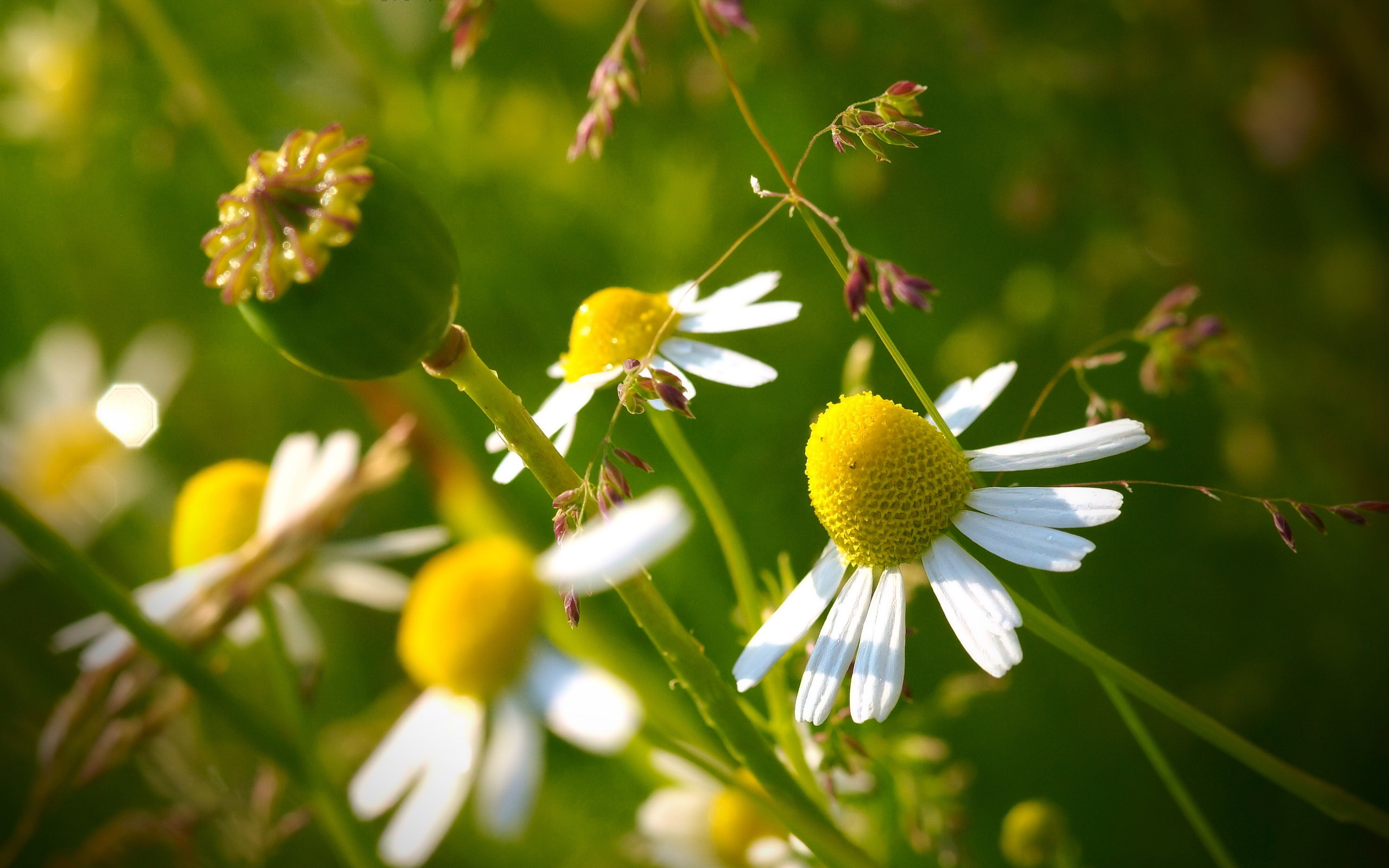 camomile flowers cool