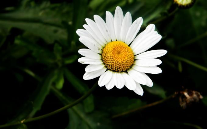 camomile white