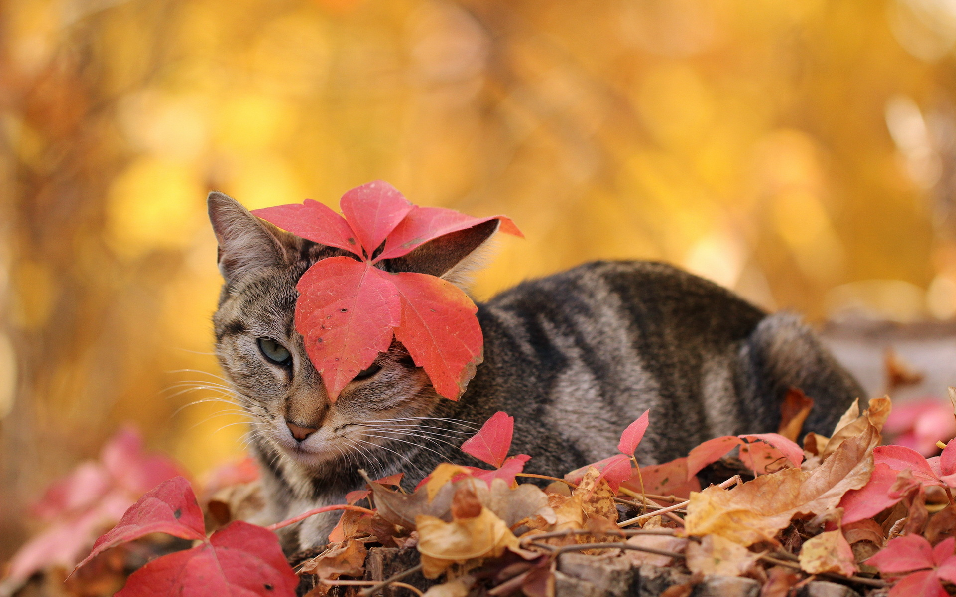 cat cute wallpapers autumn