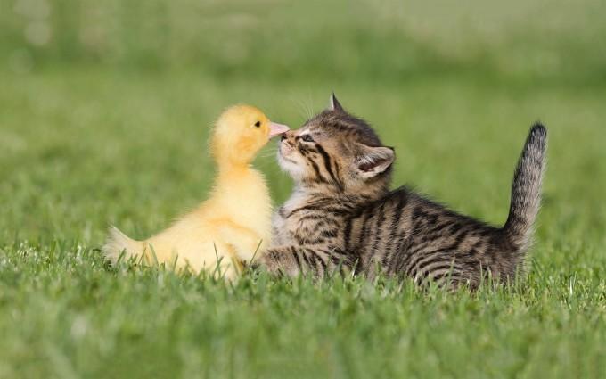 cat duck friends