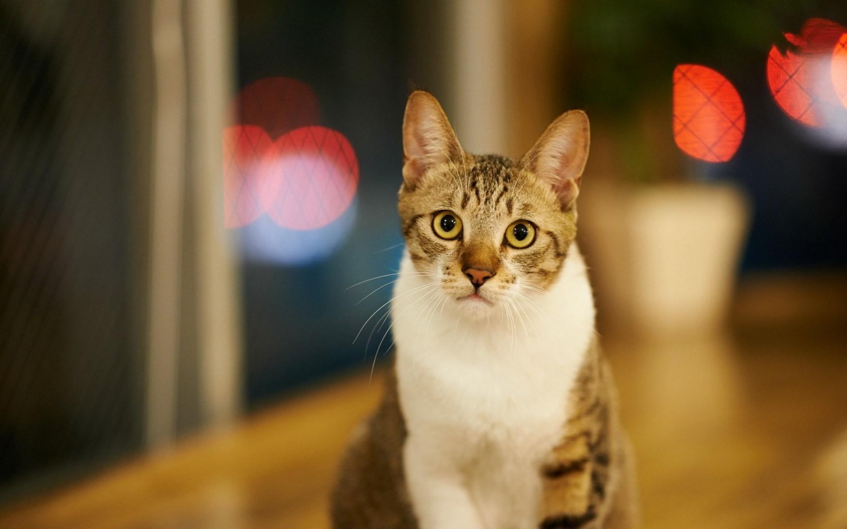cat wallpaper christmas