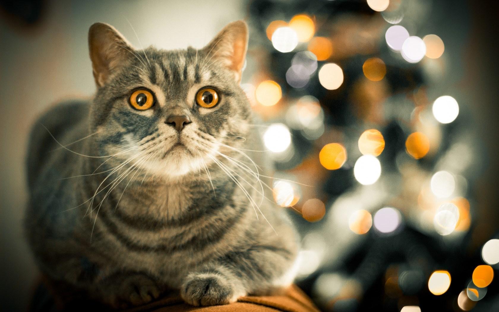 cat wallpaper curious