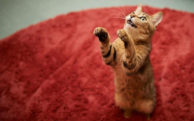 cat wallpaper pc download