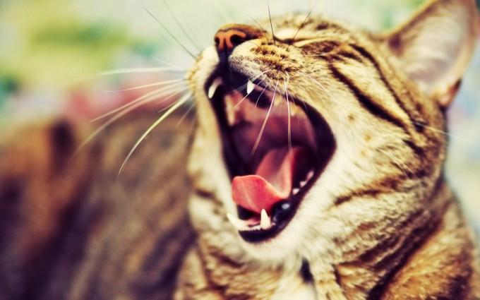 cat yawn funny