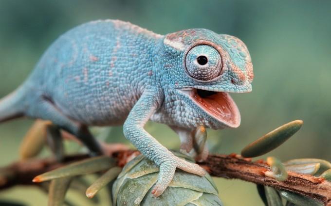 chameleon angry