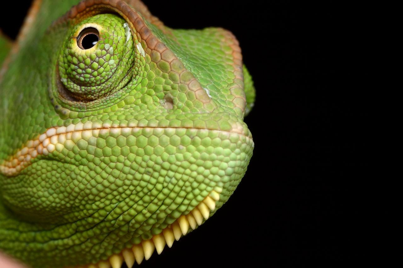 chameleon cute wallpaper