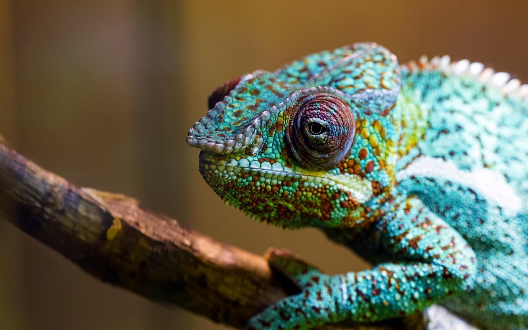 chameleon eyes