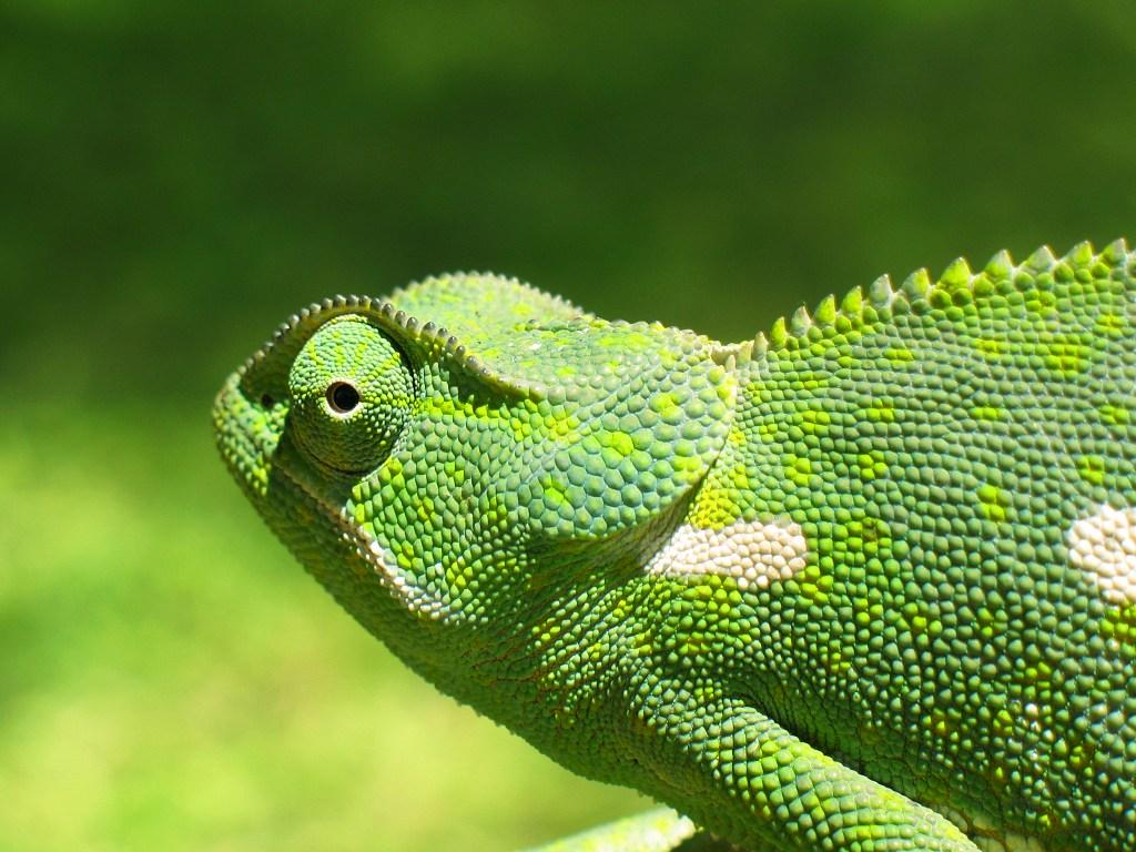 chameleon green images