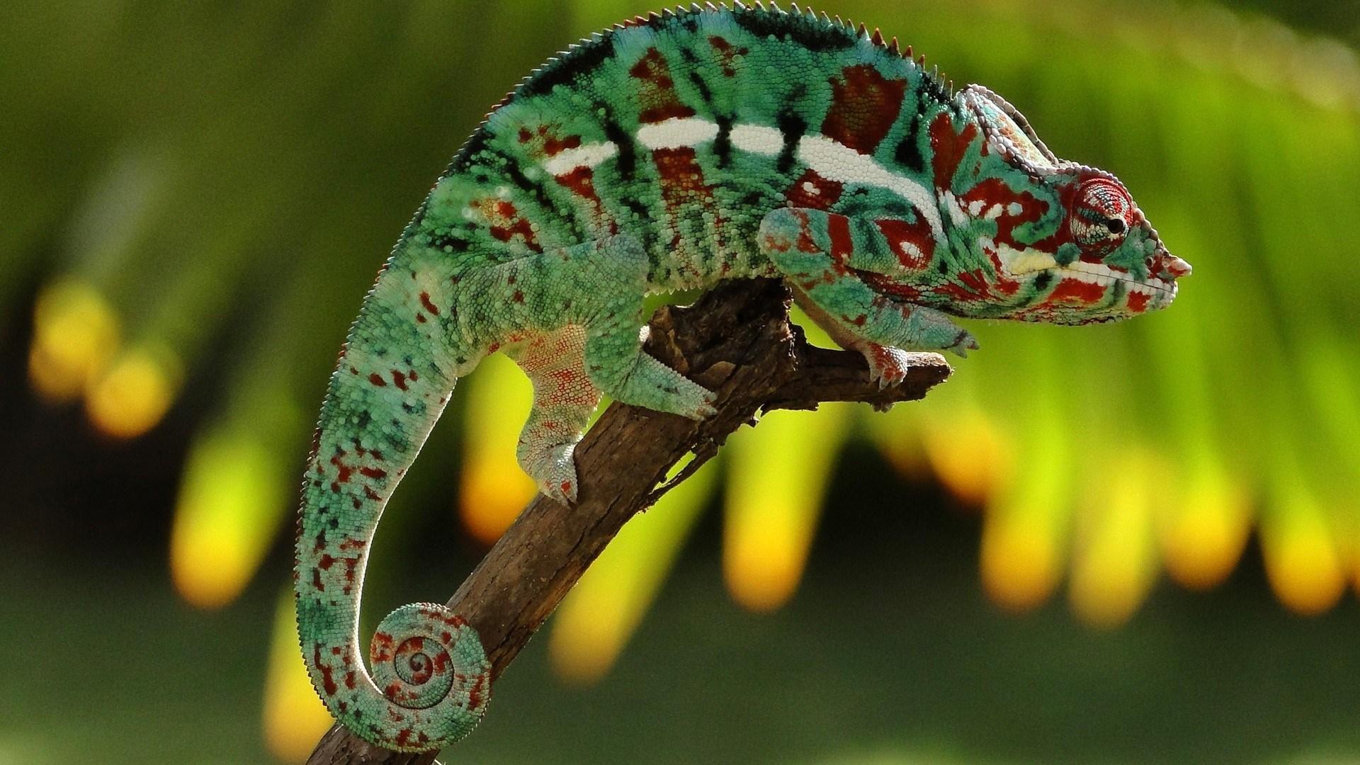 chameleon lizard HD Desktop Wallpapers 4k HD