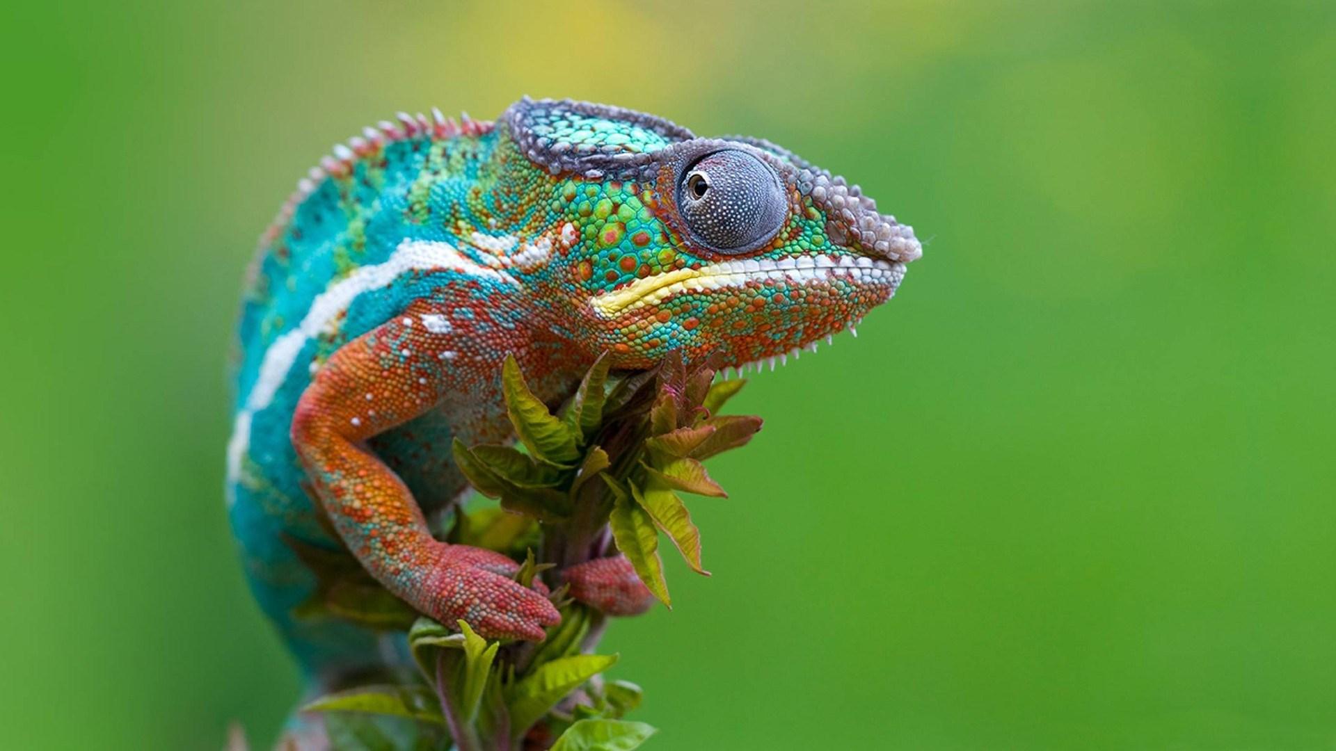 chameleon sweet