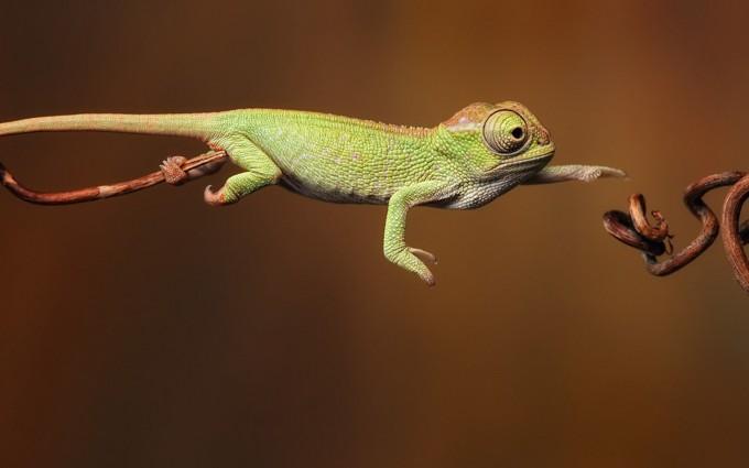 chameleon wild