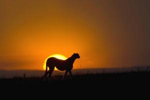 cheetah sunset wallpaper