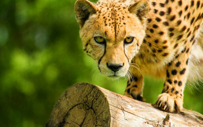 cheetah wild cat