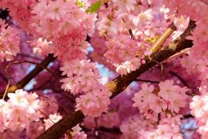 cherru blossoms cool nature