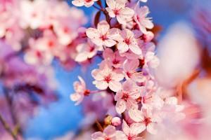 cherry blossoms hd
