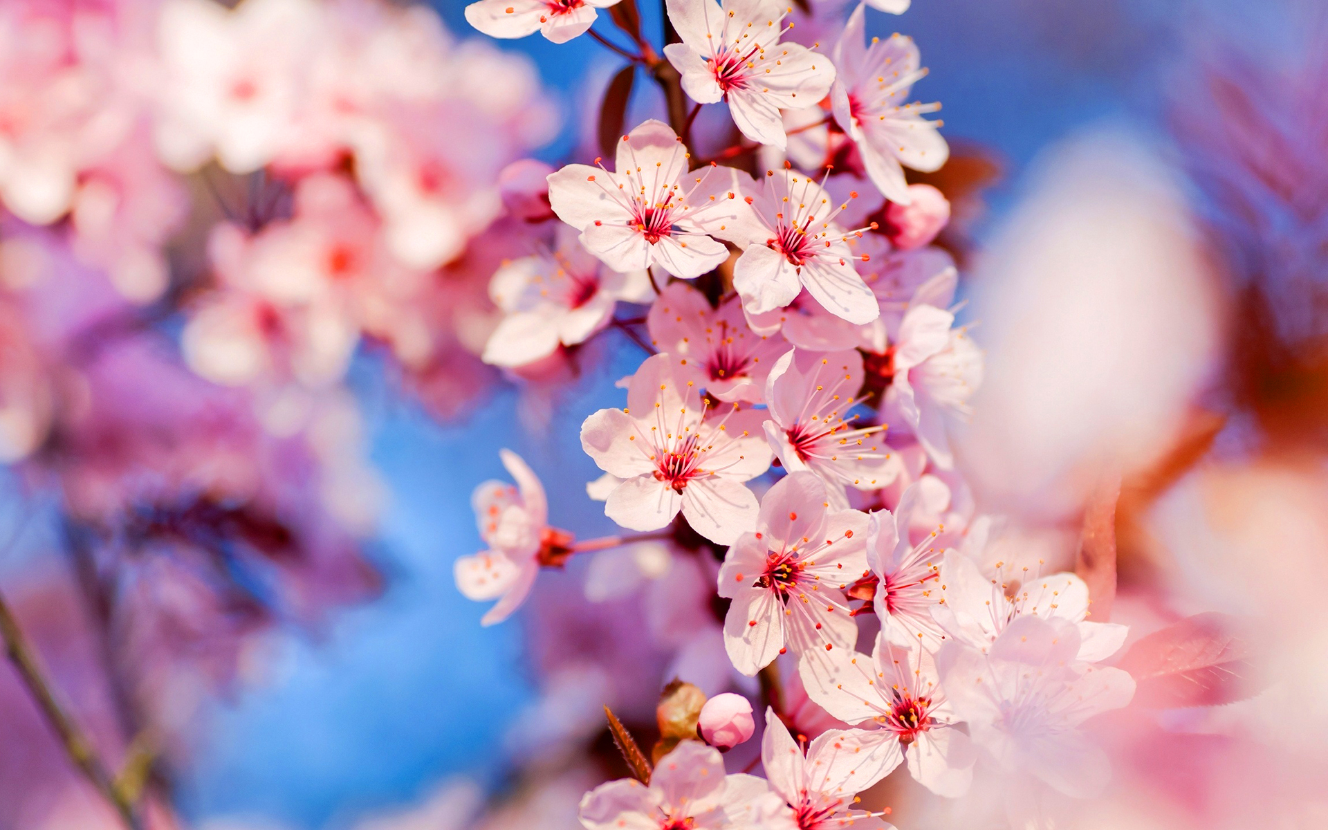 cherry blossoms hd