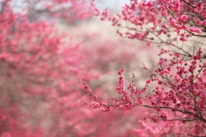 cherry blossoms pink image