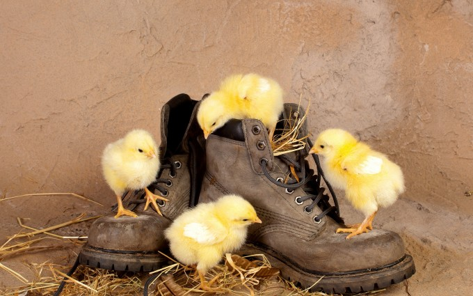 chicken cute wallpapershoes