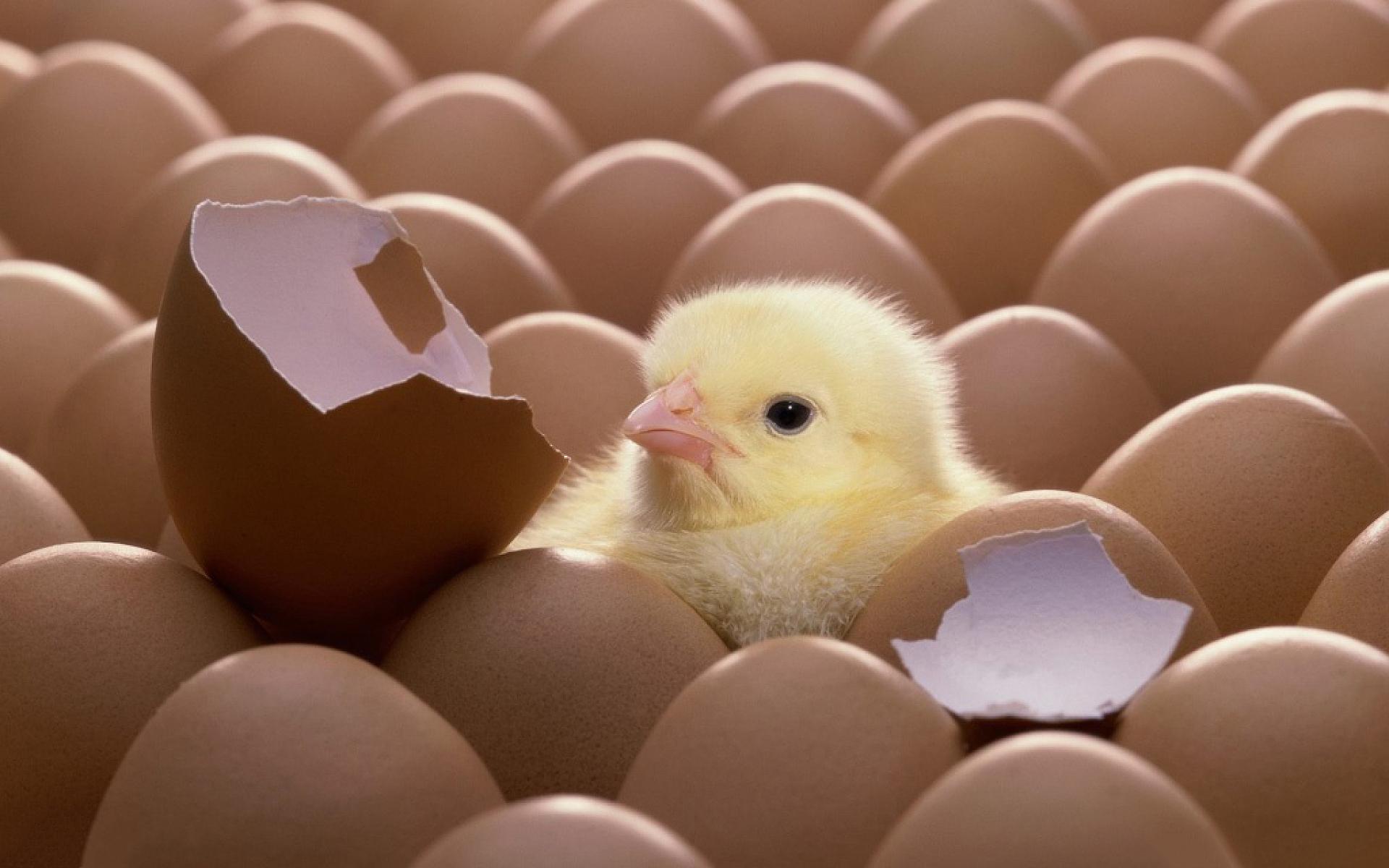 chicken hatching