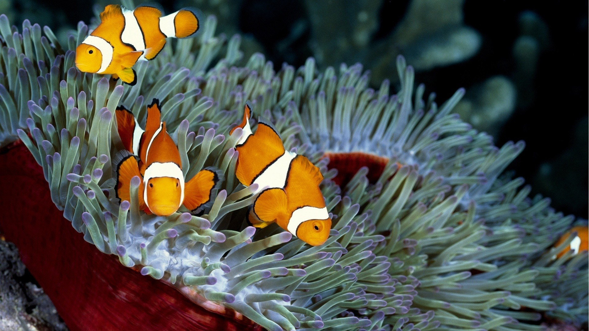 clownfish pictures