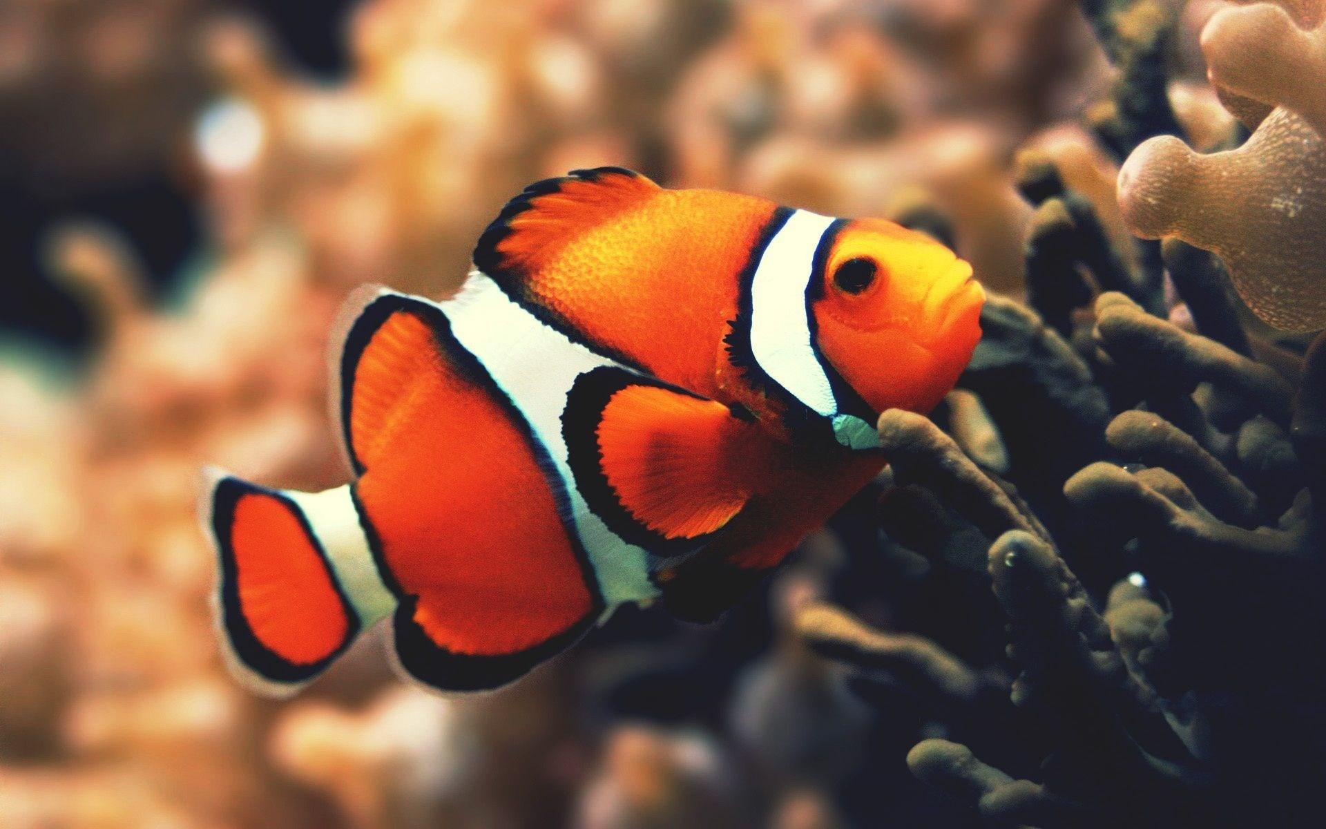 clownfish wallpaper nemo