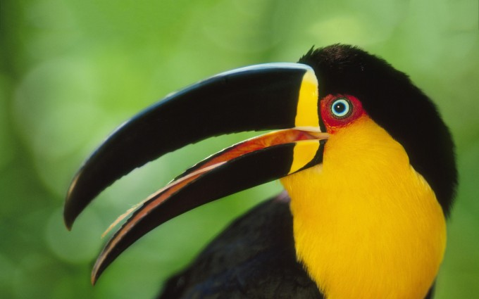 colored toucan images