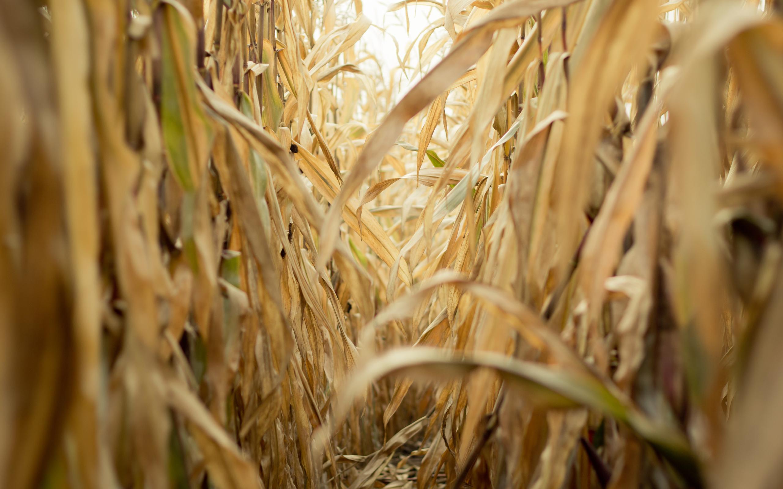 corn field nature